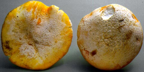 Amanita aprica, note thin layer of volva remaining attached to cap surface, Oregon, U.S.A.