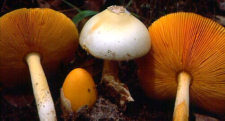 Amanita flammeola, east-central Africa.