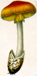 Amanita hemibapha, Sri Lanka, plate from original description.