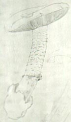 Amanita lactea, drawing by Malençon with original notes on the holotype, used in original publication, in the herbarium, Univ. of Montpélier, France.