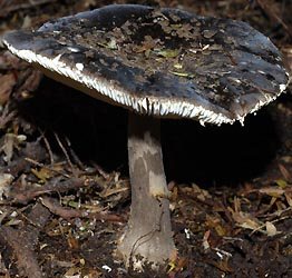 Amanita nothofagi, Auckland, New Zealand, photo by Michael Wallace