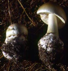 Amanita phalloides, pine plantation, Cape May Co., New Jersey, U.S.A.