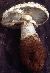 Amanita salmonescens, Herrontown Co. Pk., Mercer Co., New Jersey, U.S.A.