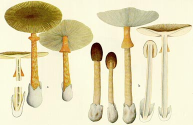 E. J. H. Corner's watercolor of the material placed in Amanita similis by Corner and Bas.