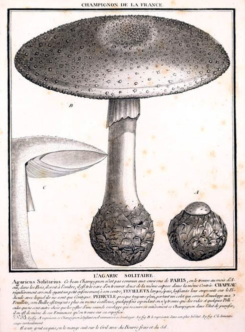 Amanita solitaria, lectotype from Bulliard's Herbier de la France.