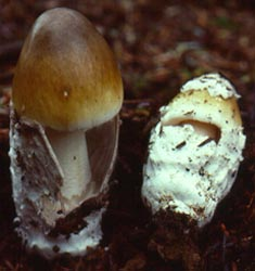Amanita submembranacea, Norway.