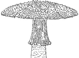 Amanita timida, Singapore, drawing by C. Bas from original description.
